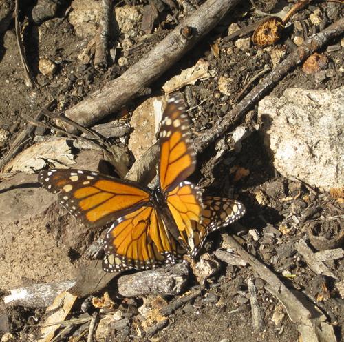 monarch-on-ground-crop-500